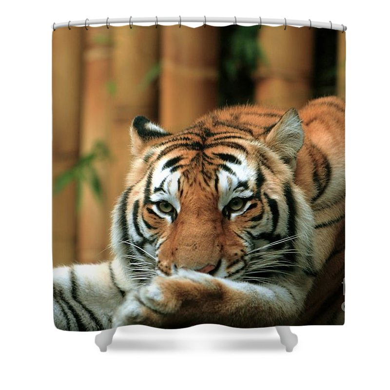 Tiger Shower Curtain featuring the photograph Asian Tiger 5 by Randy Matthews