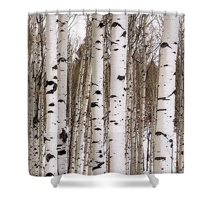 Aspen Shower Curtain featuring the photograph Aspens In Winter Panorama - Colorado by Brian Harig