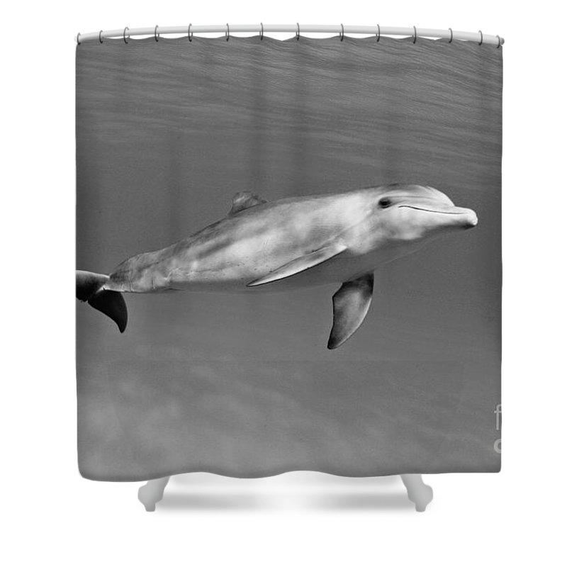 Animal Art Shower Curtain featuring the photograph Atlantic Bottlenose Dolphin by Dave Fleetham - Printscapes