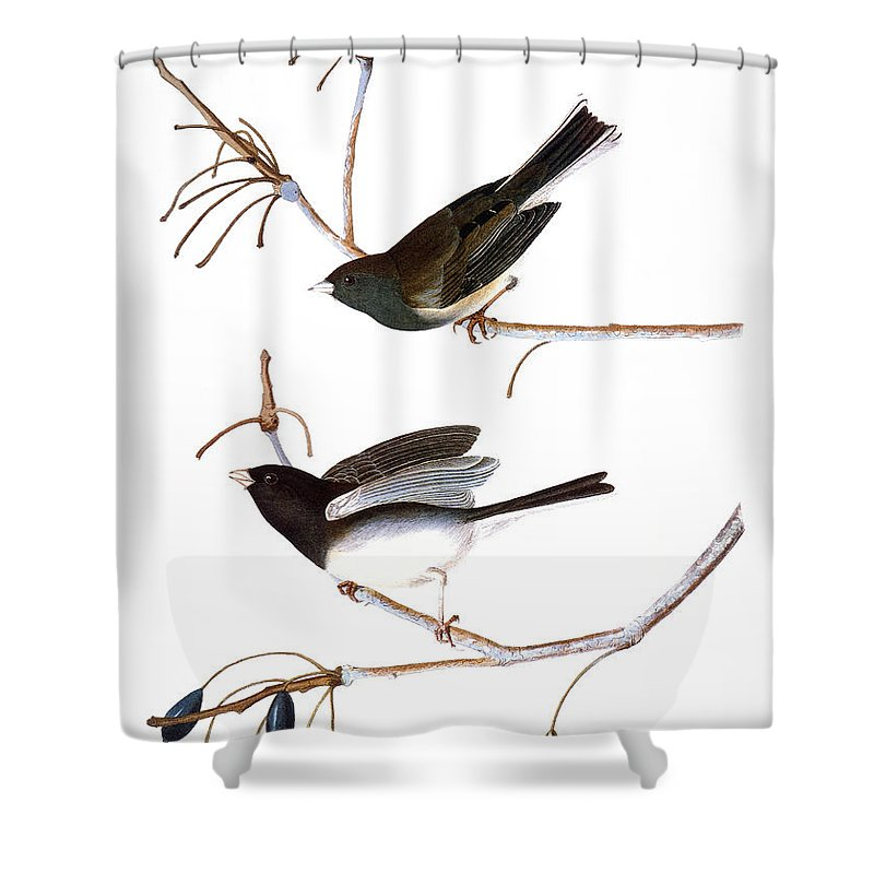 1827 Shower Curtain featuring the photograph Audubon: Junco, (1827) by Granger