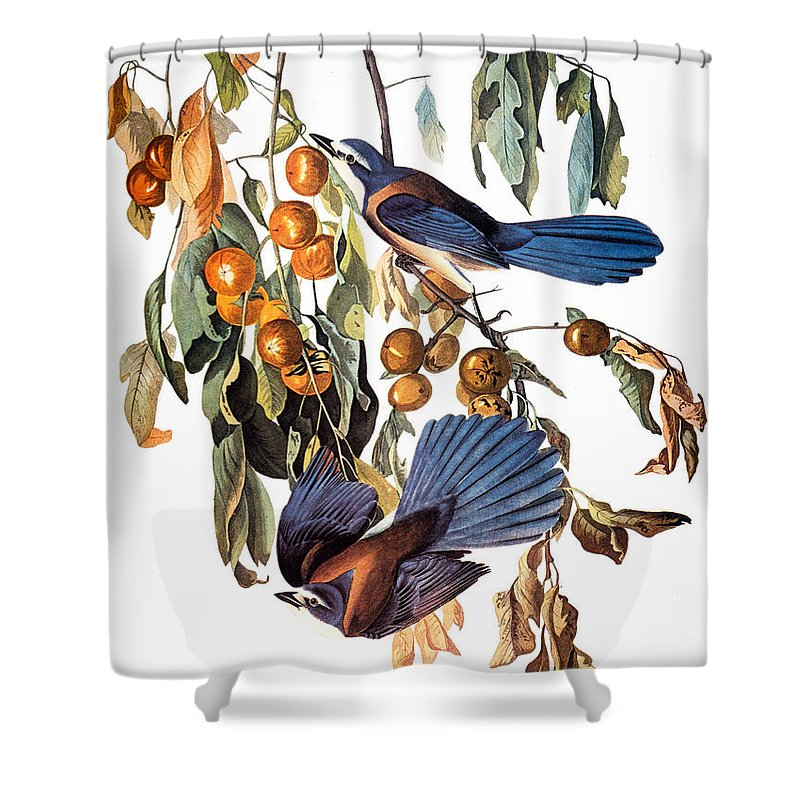 1827 Shower Curtain featuring the photograph Audubon: Scrub Jay, 1827-38 by Granger