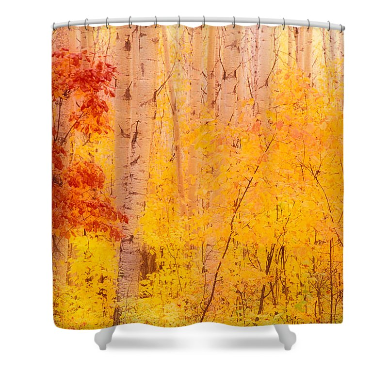 Photography Shower Curtain featuring the photograph Autumn Forest Wbirch Trees Canada by Panoramic Images