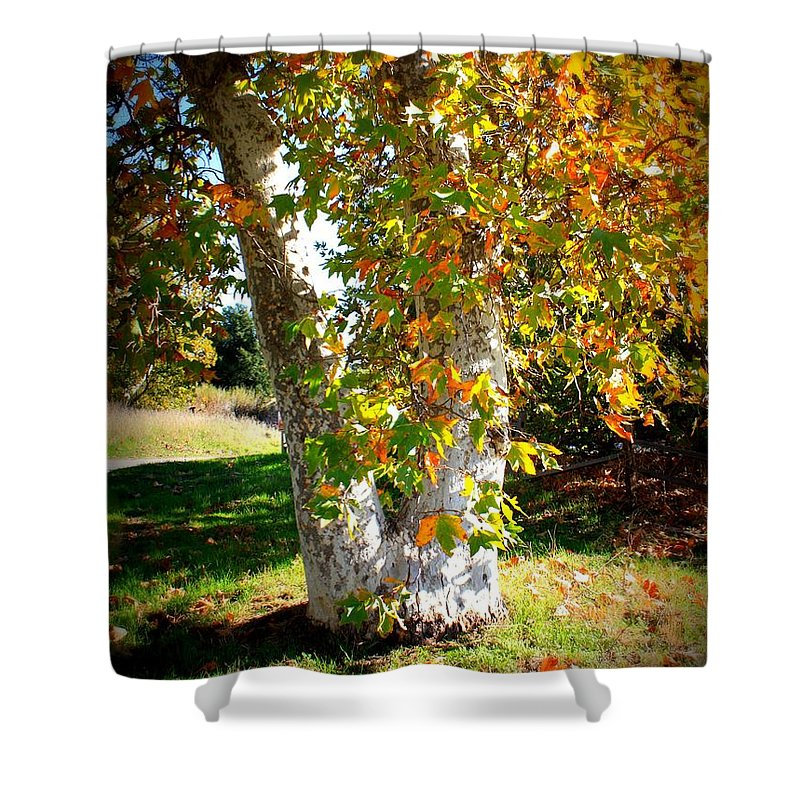 Autumn Tree Shower Curtain featuring the photograph Autumn Sycamore Tree by Carol Groenen