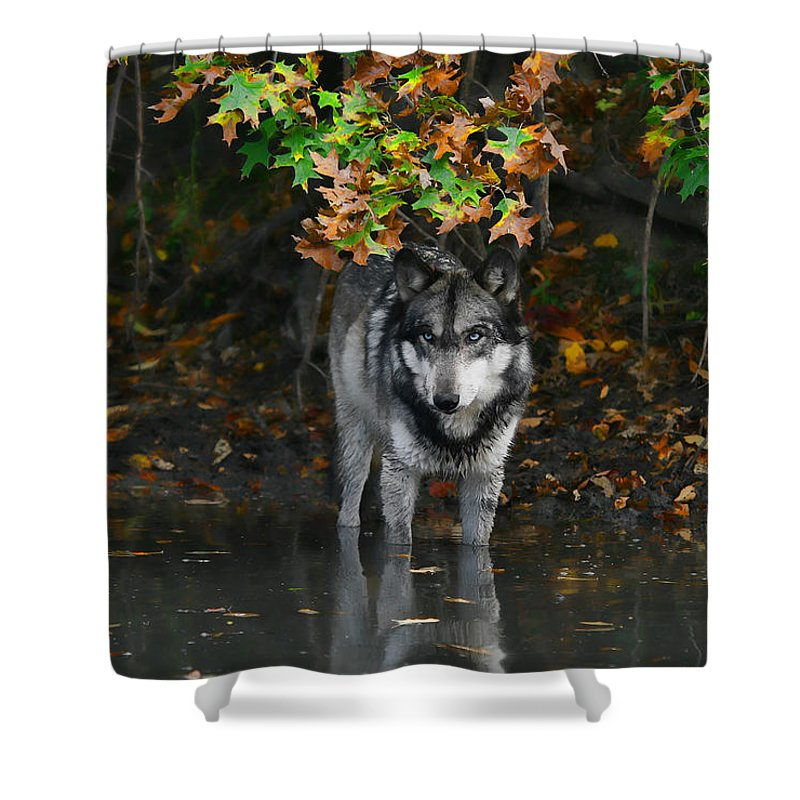 Wolf Wolves Lupine Canis Lupus Wildlife Animal Photography Photograph Shower Curtain featuring the photograph Autumn Wolf by Shari Jardina