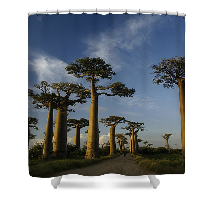 Madagascar Shower Curtain featuring the photograph Avenue Des Baobabs by Michele Burgess