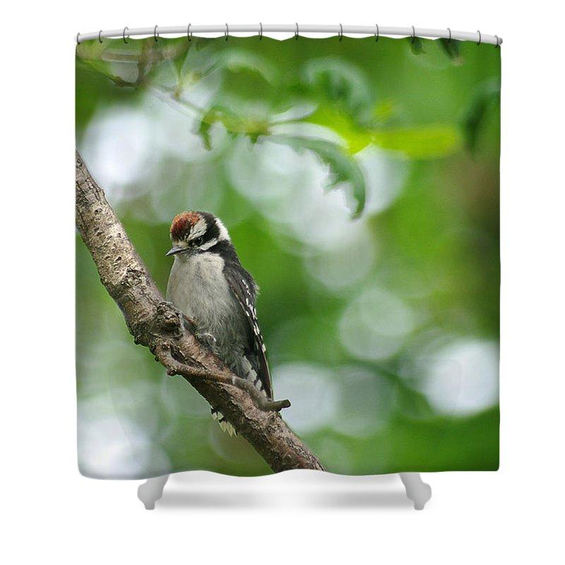\jenny Gandert\ Baby Downy Woodpecker \downy Woodpecker\ Juvenile Bird Juvenile Woodpecker Oak Limb Feed Shower Curtain featuring the photograph Baby Downy by Jenny Gandert