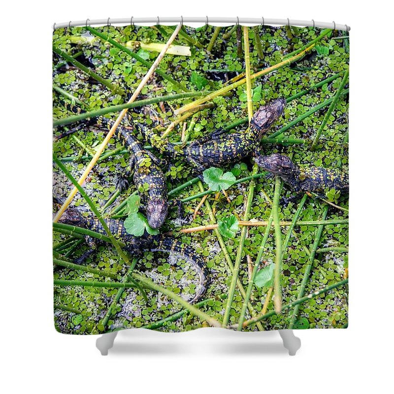 Gators Shower Curtain featuring the photograph Baby Gators by Joseph Caban