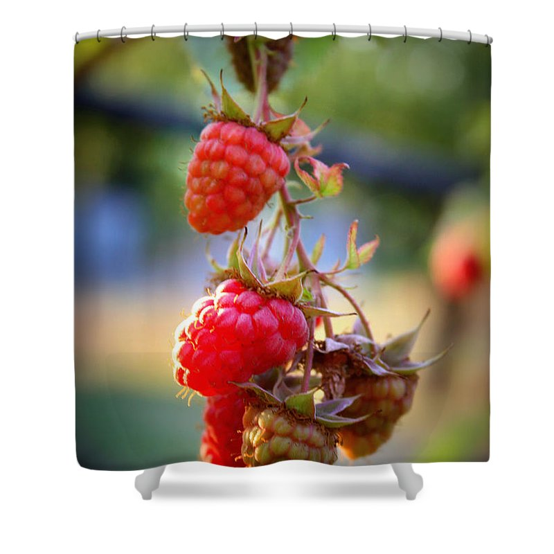 Food And Beverage Shower Curtain featuring the photograph Backyard Garden Series - The Freshest Raspberries by Carol Groenen