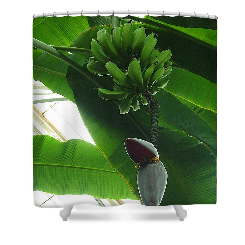 Kew Shower Curtain featuring the photograph Banana Plant Kew London England by Heather Lennox