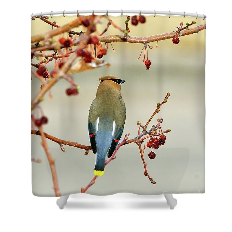 Cedar Waxwing Shower Curtain featuring the photograph Bandit by Betty LaRue