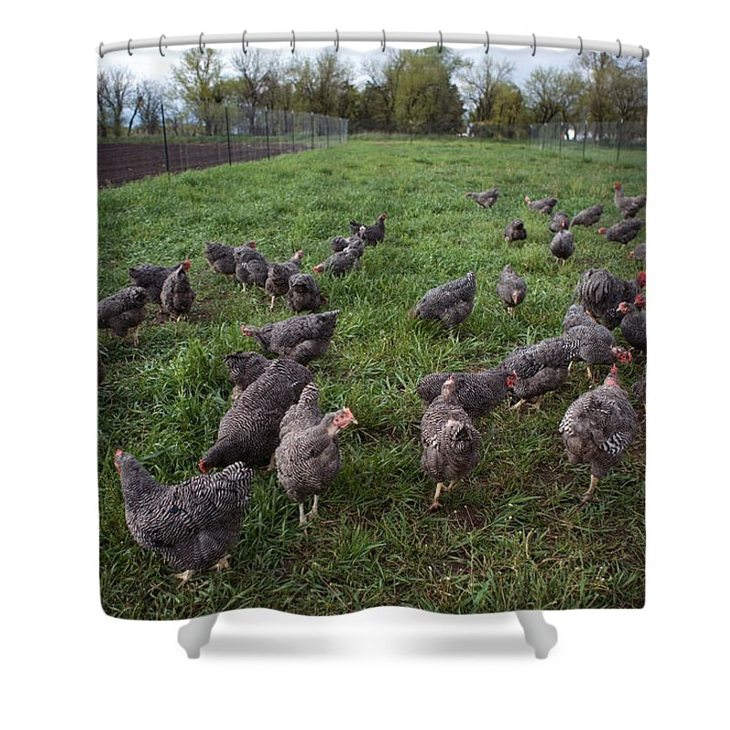 Nobody Shower Curtain featuring the photograph Barred Plymouth Rock Chickens Free by Joel Sartore