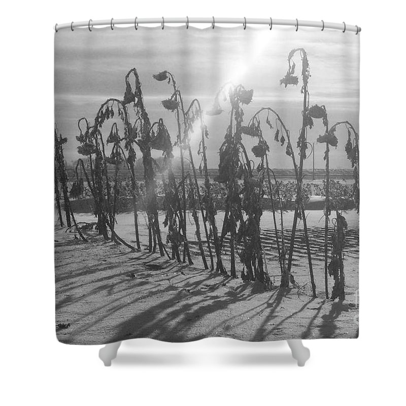 Sunflower Shower Curtain featuring the photograph Beam Of Light by Mary Mikawoz