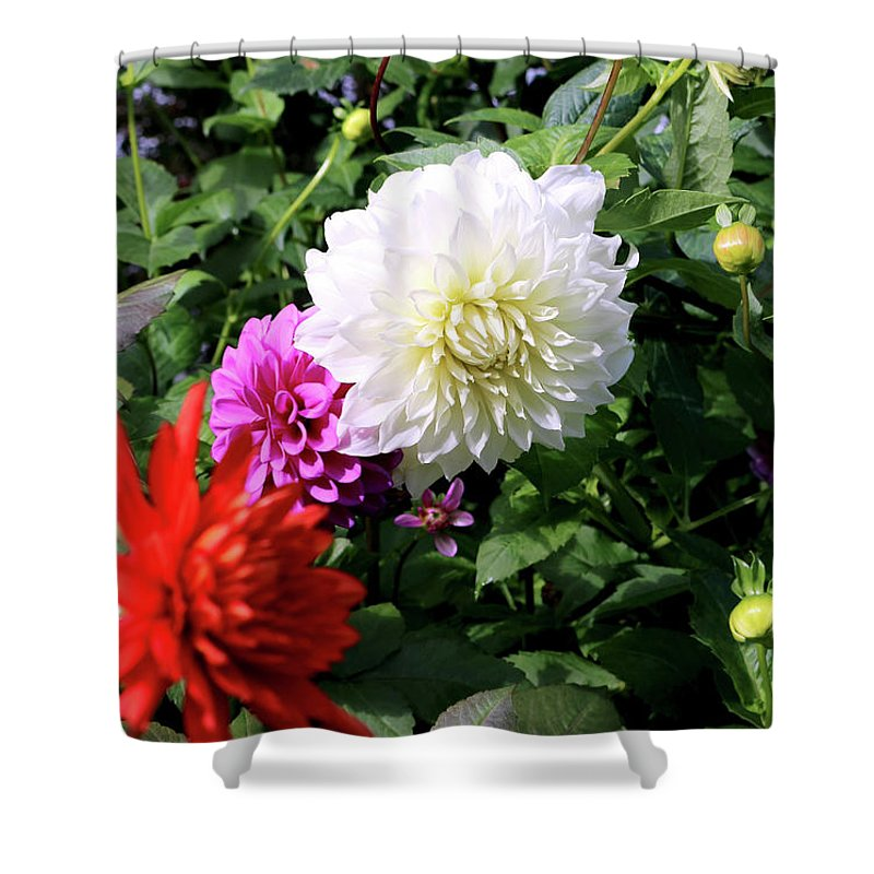 Outdoor Shower Curtain featuring the photograph Beautiful And Fresh Dahlias In The Butchrt Gardens,vancouver Island 1. by Andrew Kim
