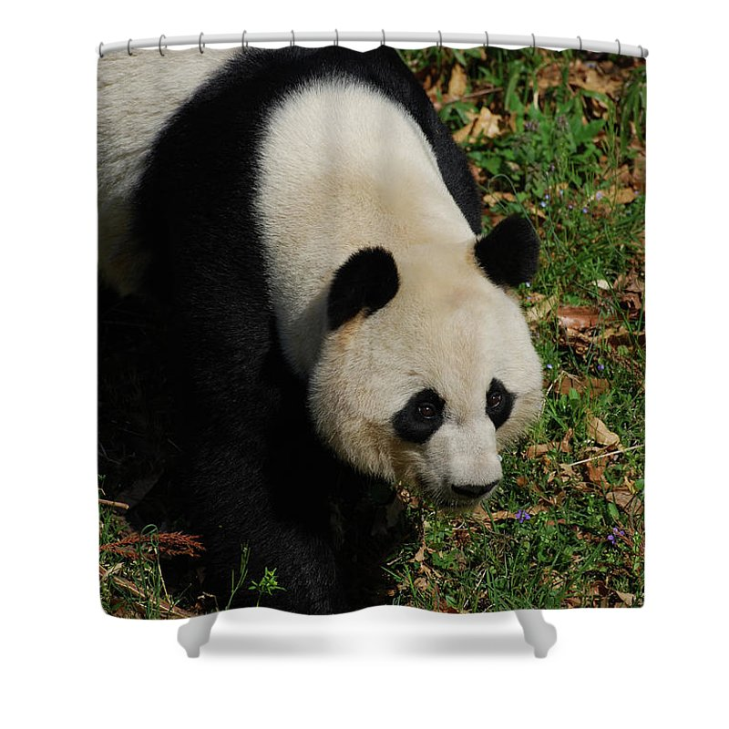 Panda Shower Curtain featuring the photograph Beautiful Giant Panda Bear Walking Through A Field by DejaVu Designs