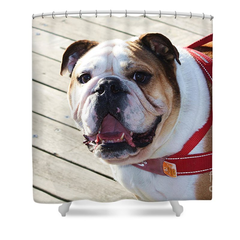 Beautiful Pug Shower Curtain featuring the photograph Beautiful Pug. by Trudee Hunter