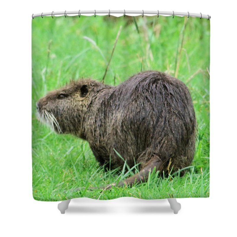 Beaver Shower Curtain featuring the photograph Beaver With Whiskers by Jeff Swan