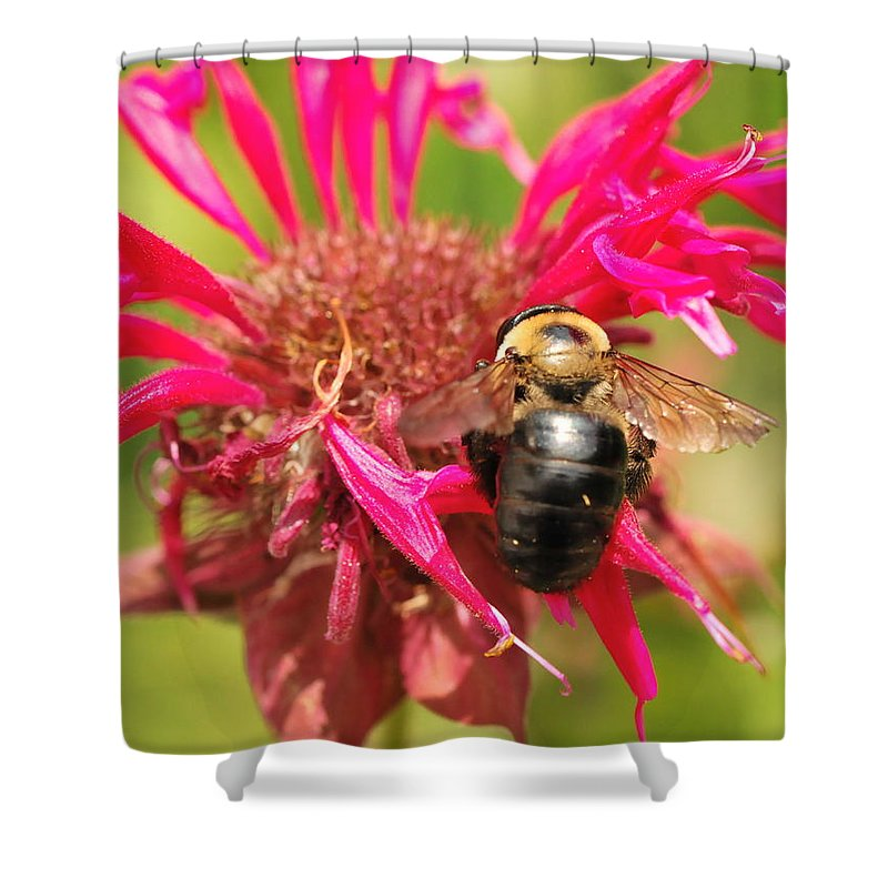 Bumblebee Shower Curtain featuring the photograph Bee On Tea Bloom by Michelle DiGuardi