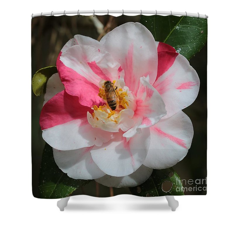 Camellia Shower Curtain featuring the photograph Bee On White And Pink Camellia by Carol Groenen