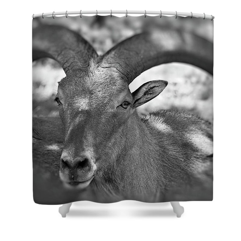 Antelope Shower Curtain featuring the photograph Bighorn by Douglas Barnard