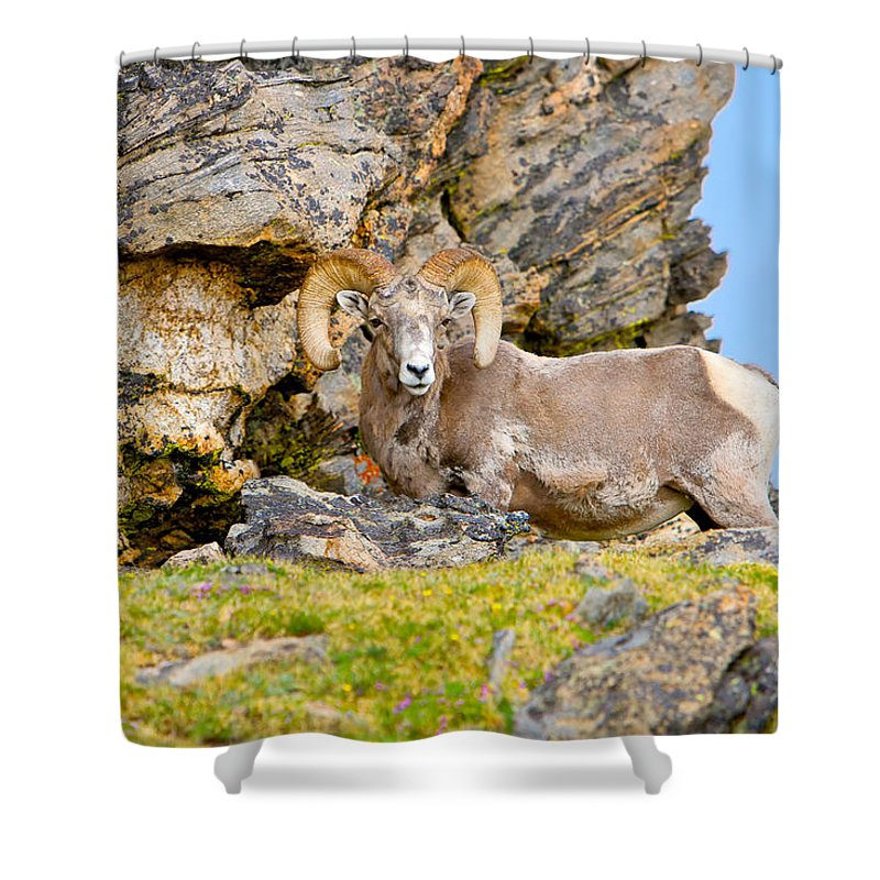 Ram Shower Curtain featuring the photograph Bighorn Sheep by James O Thompson