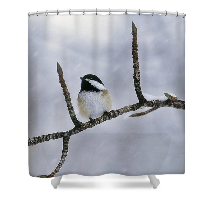 Light Shower Curtain featuring the photograph Black-capped Chickadee, Alberta by Darwin Wiggett