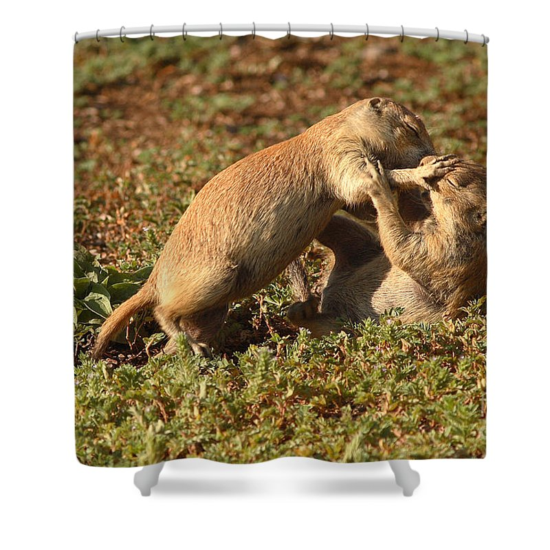 Prairie Dog Shower Curtain featuring the photograph Black-tailed Prairie Dogs Wrestling Around by Max Allen