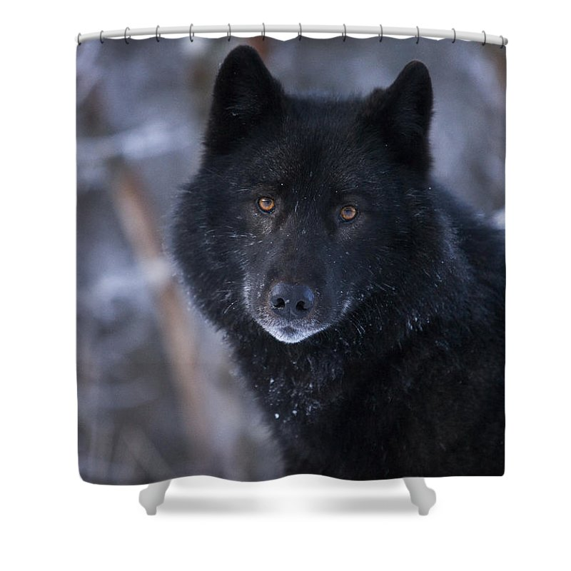 Adult Shower Curtain featuring the photograph Black Wolf Portrait by John Hyde - Printscapes