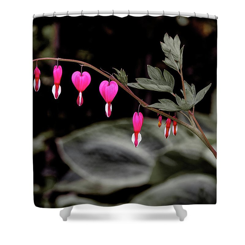 Viette Nurseries Shower Curtain featuring the photograph Bleeding Hearts by Greg Reed