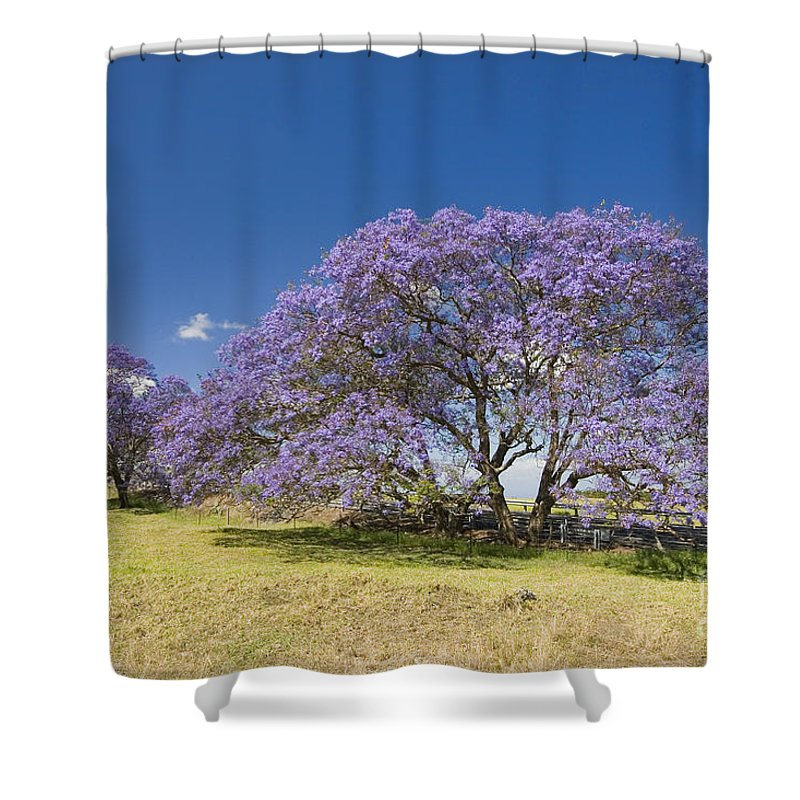 Afternoon Shower Curtain featuring the photograph Blossoming Jacaranda by Dave Fleetham - Printscapes