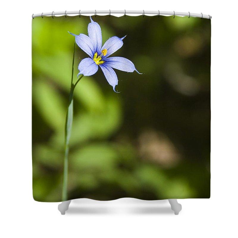 Blue Eye Grass Flower Nature Yellow Green Delicate Small Little Shower Curtain featuring the photograph Blue-eyed Grass IIi by Andrei Shliakhau