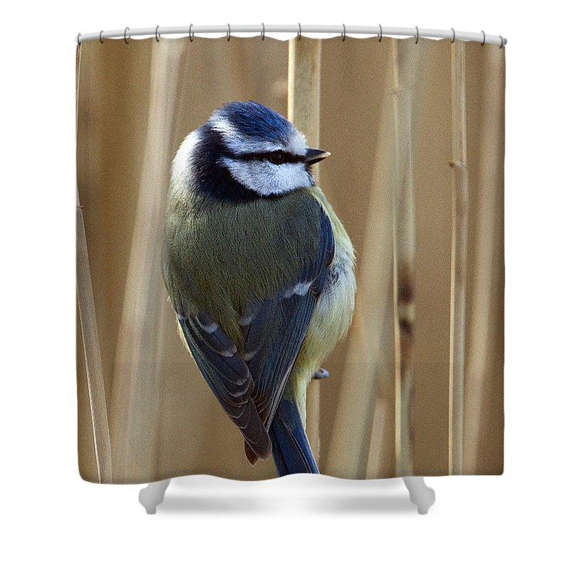 Blue Tit Shower Curtain featuring the photograph Blue Tit on Reed by Bob Kemp