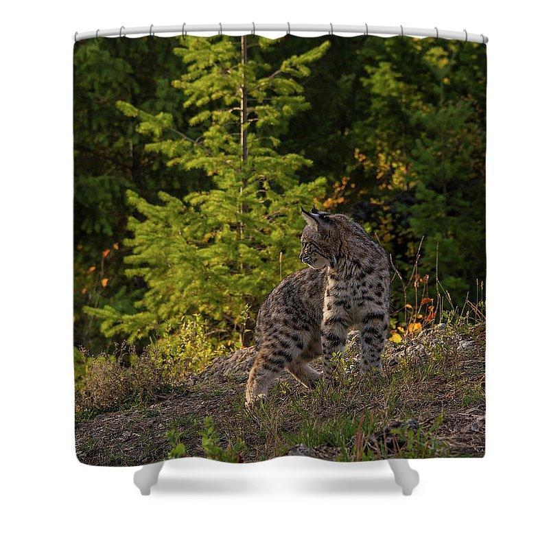 Bobcat Shower Curtain featuring the photograph Bobcat kitten in the morning by Roy Nierdieck