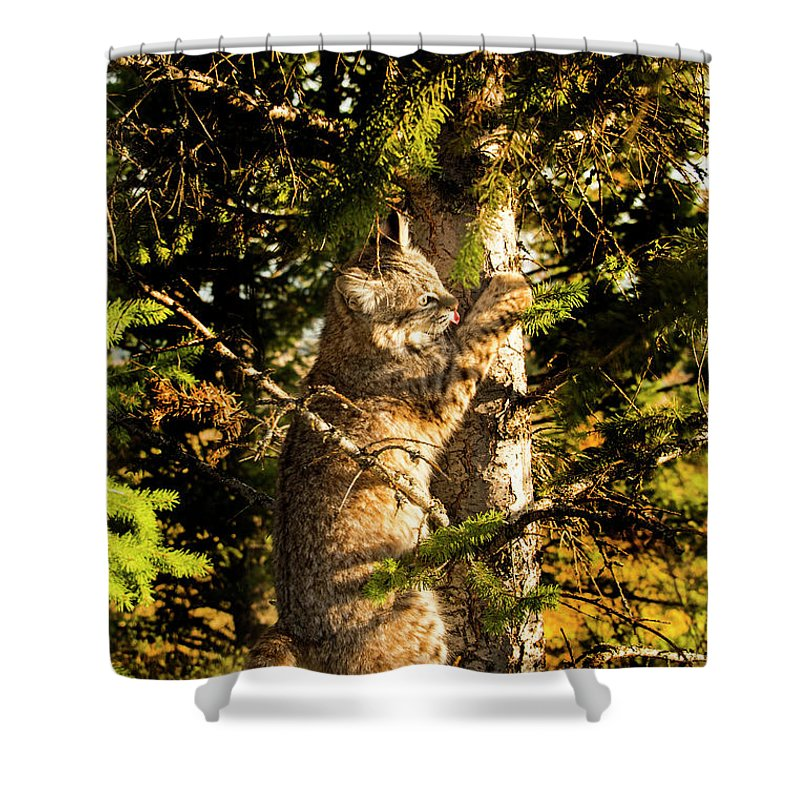Bobcat Shower Curtain featuring the photograph Bobcat up a tree by Roy Nierdieck
