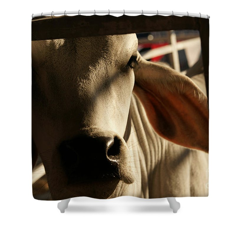 Brahma Bull Shower Curtain featuring the photograph Brahma Love by Linda Shafer