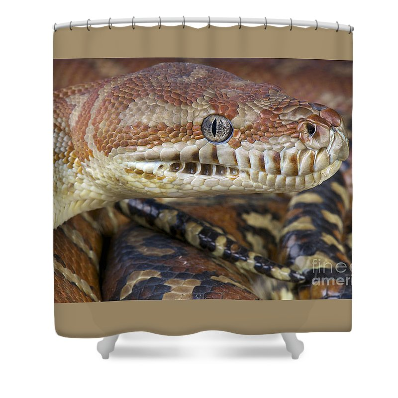 Bredl's Python Shower Curtain featuring the photograph Bredl's Python by Reptiles4all