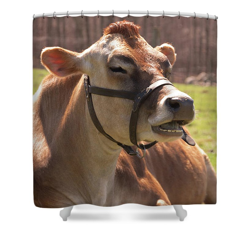 Cow Shower Curtain featuring the photograph Brown Cow Chewing by Diane Schuler