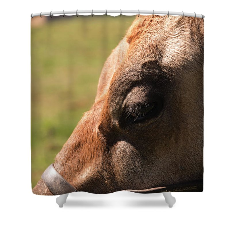 Cow Shower Curtain featuring the photograph Brown Cow With Vignette by Diane Schuler