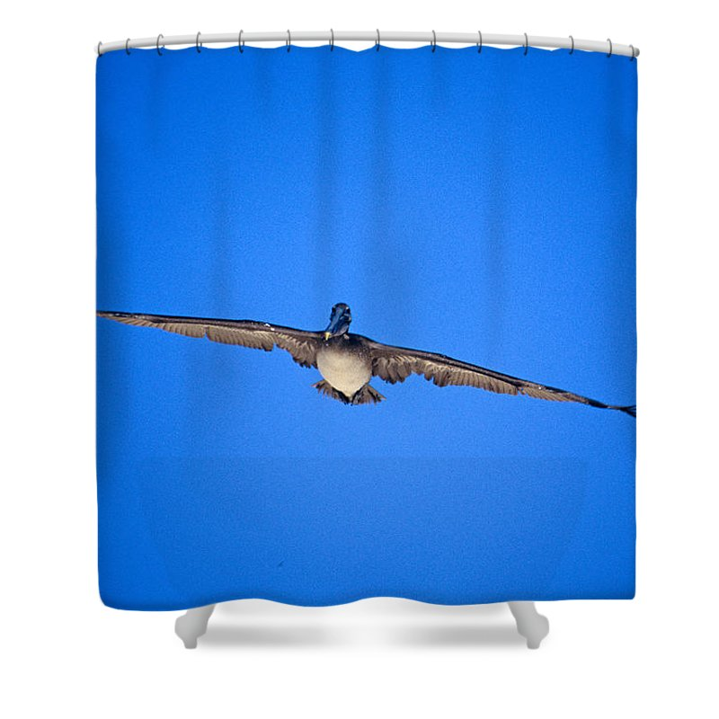 Brown Pelican Shower Curtain featuring the photograph Brown Pelican Flying by John Harmon