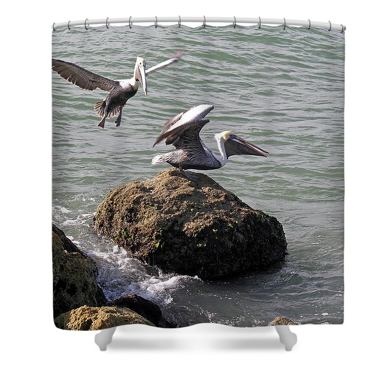 Pelican; Rock; Flying; Ocean; Sea; Bird; Florida; Action; Fight; Confrontation; Green; War; Fishing Shower Curtain featuring the photograph Brown Pelicans In Florida by Allan Hughes