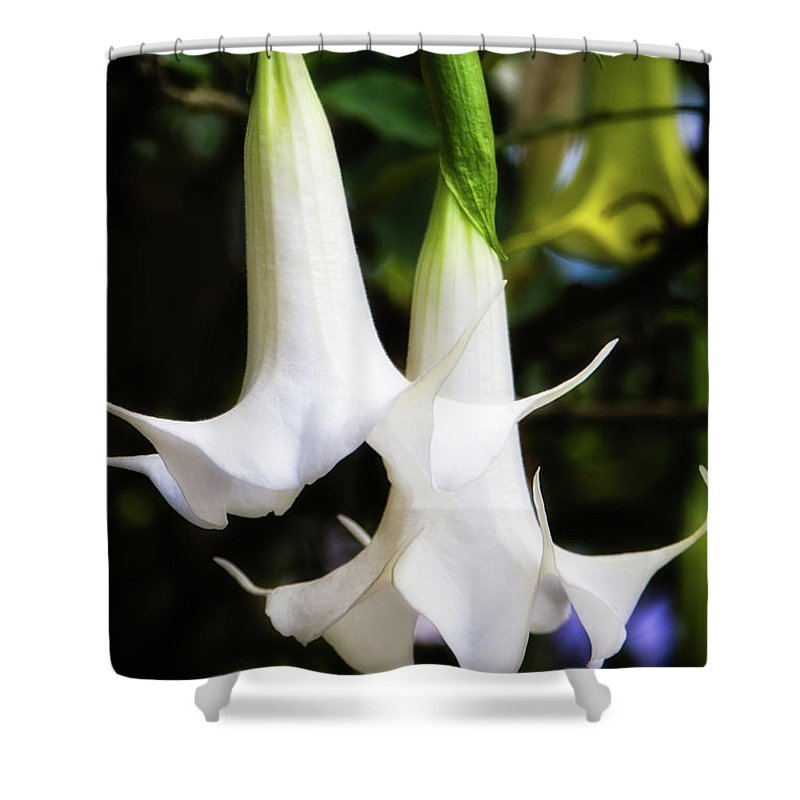 Brugmansia Shower Curtain featuring the photograph Brugmansia by Doug Sturgess