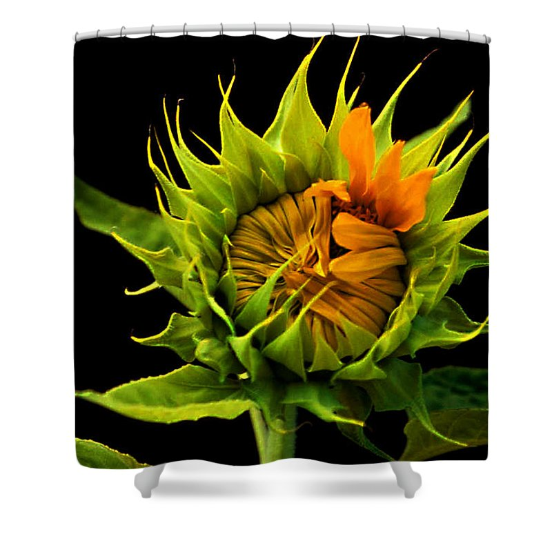 Gerber Daisy Shower Curtain featuring the photograph Budding Beauty by Laurie Paci