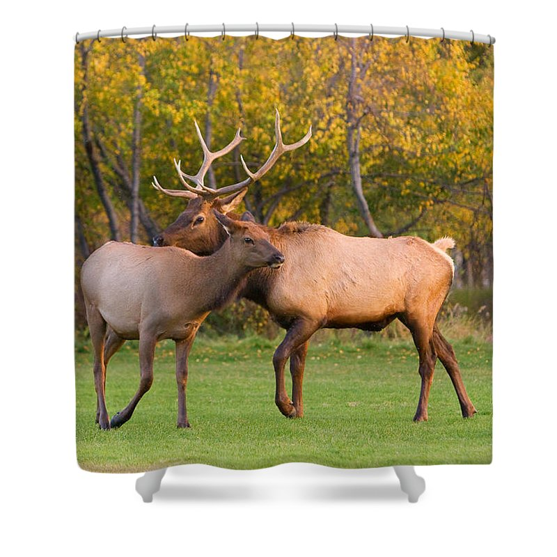 Autumn Shower Curtain featuring the photograph Bull And Cow Elk - Rutting Season by James BO Insogna