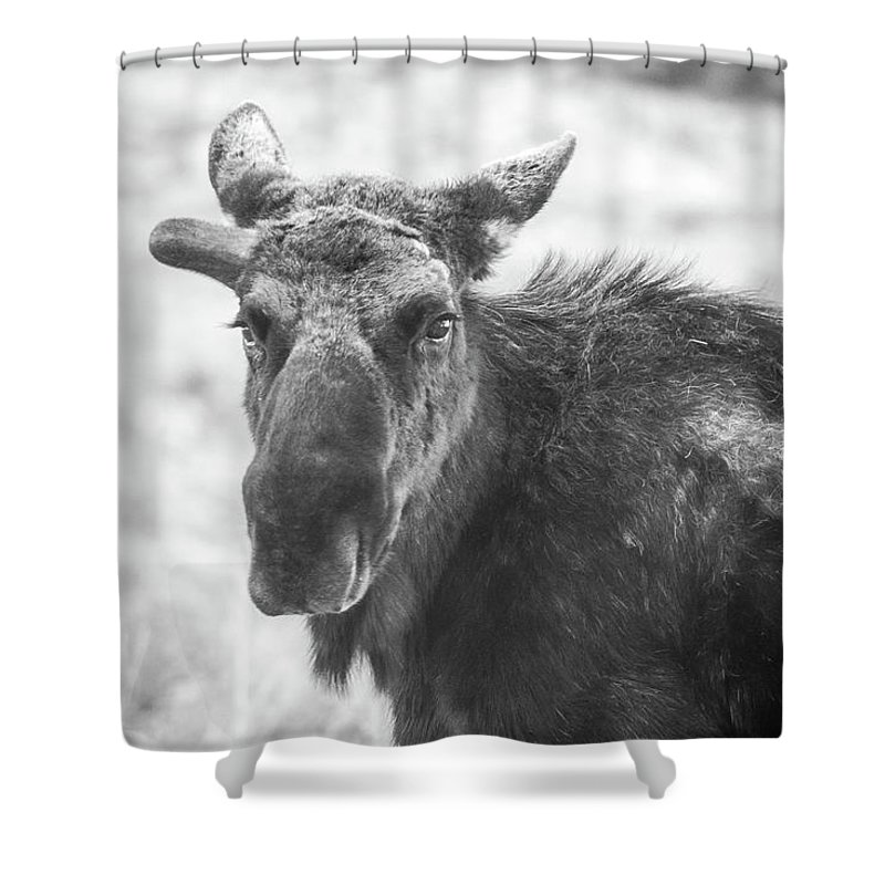 Animals Shower Curtain featuring the photograph Bull Moose by Meg Bothe