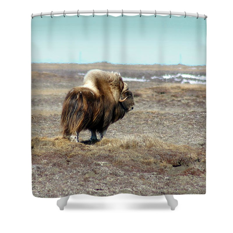 Bull Shower Curtain featuring the photograph Bull Musk Ox by Anthony Jones