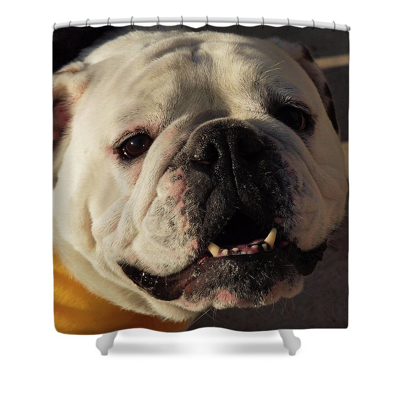 Bulldog Smiling Shower Curtain For Sale By Paula Fink