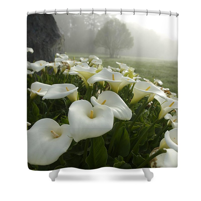 Beauty In Nature Shower Curtain Featuring The Photograph Calla Lilies Zantedeschia Aethiopica By Keenpress