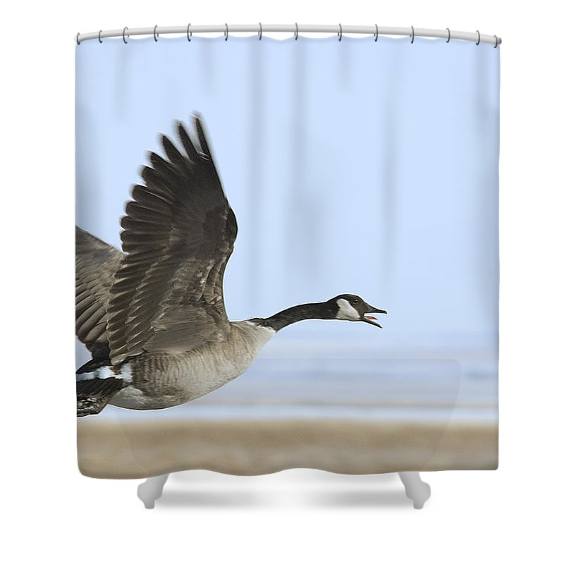 Goose Shower Curtain featuring the photograph Canada Goose by Gary Beeler