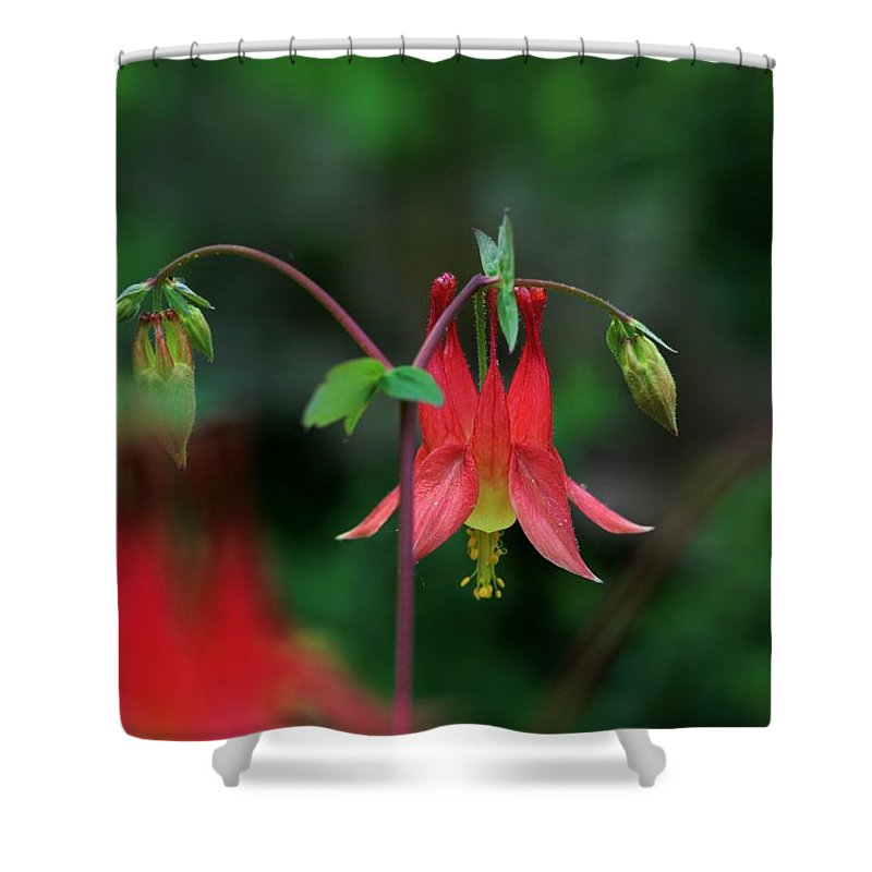 Flower Shower Curtain featuring the photograph Canadian Columbine by Kristina Jones