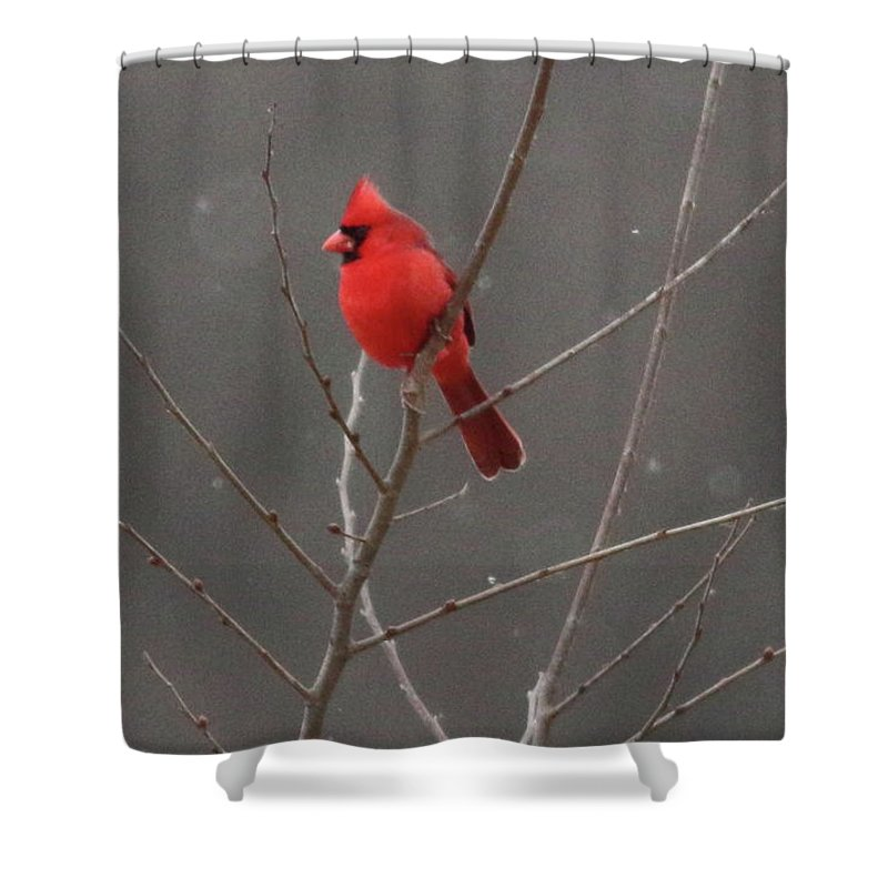 Birds Shower Curtain featuring the photograph Cardinal In The Snow by Lurquin Studios