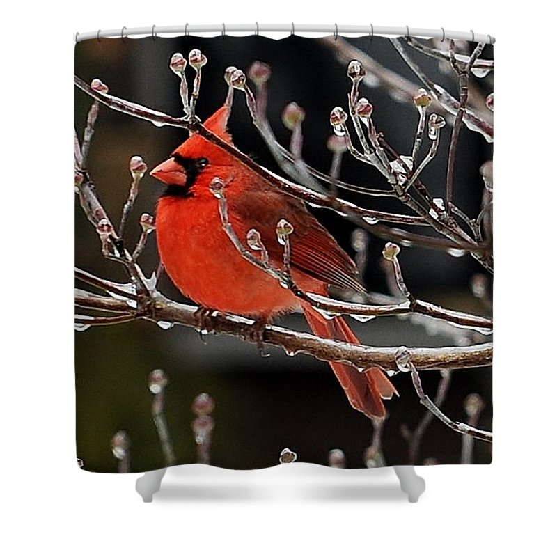 Cardinal In Ice Storm Shower Curtain featuring the photograph Cardinal by Jimmy Marlow